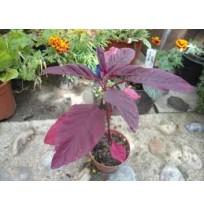 Seeds - RED Amaranthus