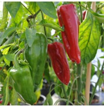 Seeds - Red Long Peppers - Sweet